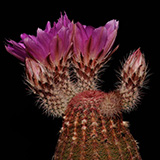 Echinocereus rigidissimus, Hermosillo-San Nicolas, 25 Seeds