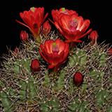 Echinocereus triglochidiatus, winter hardy, 50 Seeds
