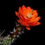 Echinocereus rischeri, Nabogame, 25 Seeds