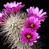 Echinocereus llanuarensis, Hermosillo, 100 Seeds