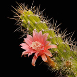 Echinocereus pensilis, Baja California, 25 Seeds