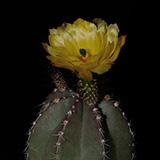 Echinocereus subinermis, 25 Seeds