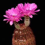 Echinocereus rigidissimus, Sonoita, 25 Seeds