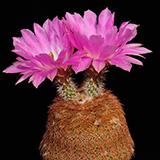 Echinocereus rigidissimus, Madera Canyon, 100 Seeds