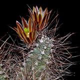 Echinocereus mapimiensis, Zona del Silencio, 100 Korn