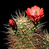 Echinocereus spec., La Luz, 25 Seeds