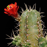 Echinocereus triglochidiatus, Corona, 25 Seeds