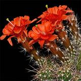 Echinocereus salm-dyckianus, Creel-Divisadero, 25 Korn