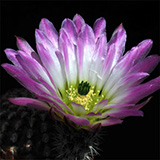Echinocereus pectinatus, Salinas, 25 Korn