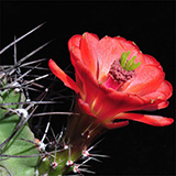 Echinocereus triglochidiatus gonacanthus, Grants, 25 Korn