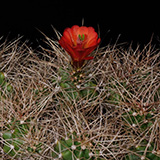 Echinocereus mojavensis, Big Bear Lake, 25 Seeds