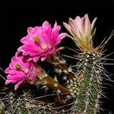 Echinocereus scheeri, Humira, 25 Korn