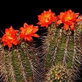 Echinocereus polyacanthus, Santa Clara Canyon, 100 Seeds