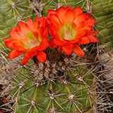 Echinocereus polyacanthus, Durango-Mazatlan, Km68, 100 Seeds