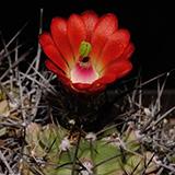 Echinocereus coccineus paucispinus, Eagle Nest Canyon, 100 Seeds