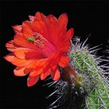 Echinocereus ortegae, Canelas-Topia, 100 Seeds