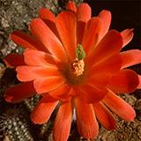 Echinocereus huitcholensis plomosos, Jesus Maria, 100 Seeds