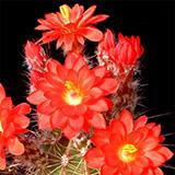 Echinocereus polyacanthus, Las Minas Navidad, 100 Seeds