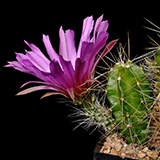 Echinocereus viereckii morricalii, with spination, 25 Seeds