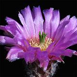Echinocereus reichenbachii perbellus, Pecos, 50 Korn