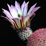 Echinocereus pectinatus, San Roberto, 25 Korn