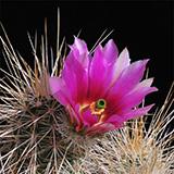 Echinocereus engelmannii, San Borja, LAU0013, 100 Korn