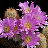 Echinocereus freudenbergeri, Sierra Paila, 25 Korn