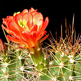 Echinocereus coccineus roemeri, Enchanted Rock, 500 Seeds