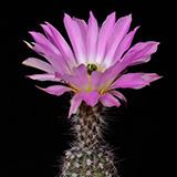 Echinocereus fobeanus, San Pedro de la Colonias, 100 Seeds