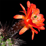 Echinocereus acifer, Topia, 25 Seeds