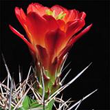 Echinocereus coccineus roemeri, BW111, 100 Seeds