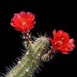 Echinocereus spec., San Antonio, LAU0084, 25 Seeds