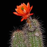 Echinocereus huitcholensis, Durango-Mazatlan, Km207, 100 Seeds
