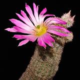 Echinocereus scopulorum, San Carlos, 25 Seeds