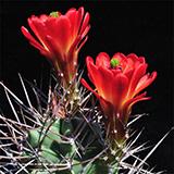 Echinocereus triglochidiatus gonacanthus, 100 Seeds