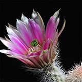 Echinocereus dasyacanthus, Pecos Co., 50 Seeds