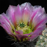 Echinocereus dasyacanthus, Ft. Stockton, 500 Seeds