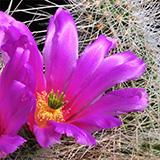 Echinocereus stramineus, Mexico, 25 Korn