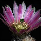 Echinocereus dasyacanthus crockettianus, Crockett Co., 25 Korn