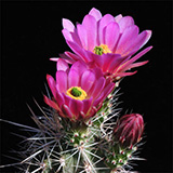 Echinocereus mojavensis, USA, 25 Seeds
