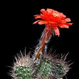Echinocereus topiensis, El Durazno, 100 Seeds
