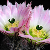 Echinocereus pectinatus, El Morrion, 25 Korn