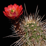 Echinocereus bakeri, Virgin, 100 Seeds