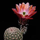 Echinocereus pectinatus, Delante, 25 Korn