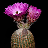 Echinocereus rigidissimus rubispinus, LAU0088, 25 Seeds