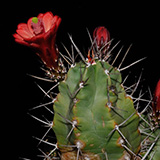 Echinocereus triglochidiatus, Manzano Mts., 50 Seeds