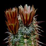 Echinocereus chloranthus x fendleri, El Sueco, 100 Korn