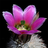 Echinocereus dasyacanthus crockettianus, Sheffield, 500 Seeds