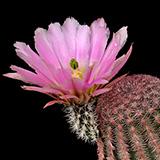 Echinocereus pectinatus, Hidalgo del Parral-Rodeo, 25 Seeds