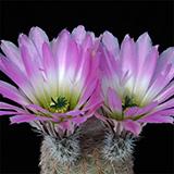 Echinocereus pectinatus, Hundido, 25 Seeds